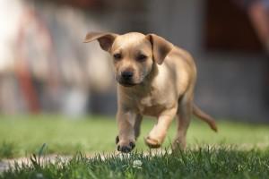 brown lab puppy
