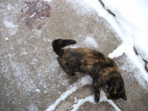cat walking on snowy path